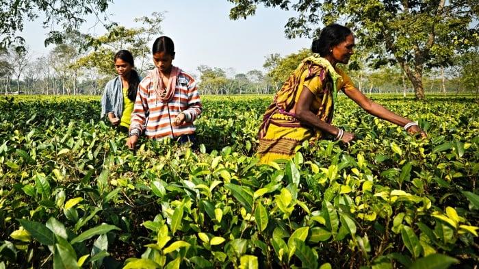 picking-tea-in-Assam-004